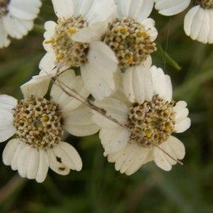 Photographie n°82991 du taxon Achillea ptarmica L.
