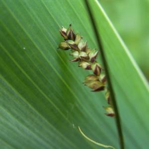 Photographie n°83043 du taxon Carex panicea L. [1753]