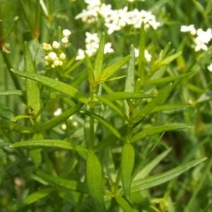 Photographie n°83044 du taxon Galium boreale L.