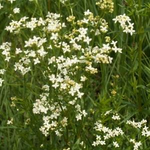 Photographie n°83047 du taxon Galium boreale L.