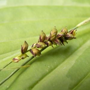 Photographie n°83048 du taxon Carex panicea L. [1753]