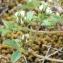 Marie  Portas - Trifolium scabrum L. [1753]