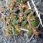 Emmanuel Stratmains - Euphorbia maculata L. [1753]