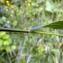 Emmanuel Stratmains - Roegneria canina (L.) Nevski