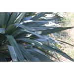Yucca recurvifolia Salisb. (Yucca à feuilles courbées)