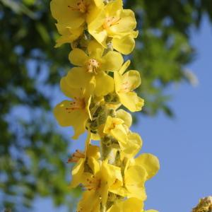 Photographie n°83250 du taxon Verbascum pulverulentum Vill.