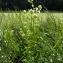 Emmanuel Stratmains - Cirsium oleraceum (L.) Scop.