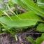 Emmanuel Stratmains - Symphytum officinale subsp. officinale
