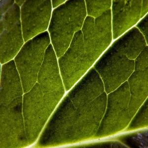 Photographie n°83343 du taxon Symphytum officinale subsp. officinale