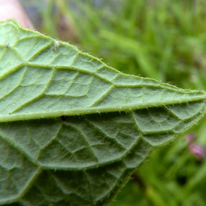 - Symphytum officinale subsp. officinale