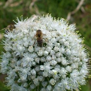 - Allium cepa L. [1753]