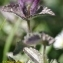 Olivier Iborra - Bartsia alpina L. [1753]