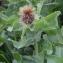 Marie  Portas - Centaurea pectinata L. [1763]