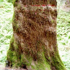Photographie n°83654 du taxon Abies alba subsp. alba