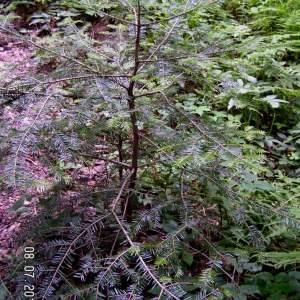 Photographie n°83656 du taxon Abies alba subsp. alba