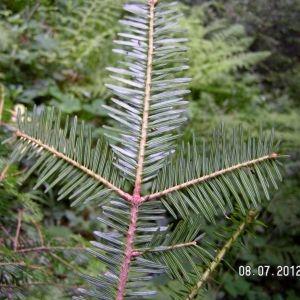 Photographie n°83658 du taxon Abies alba subsp. alba