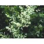 Agrostis stolonifera L. var. stolonifera