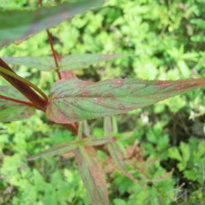 Photographie n°83795 du taxon Epilobium ciliatum Raf. [1808]
