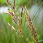 Calamagrostis epigejos (L.) Roth subsp. epigejos (Calamagrostide commune)