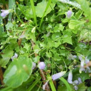 Photographie n°83943 du taxon Wahlenbergia hederacea (L.) Rchb.