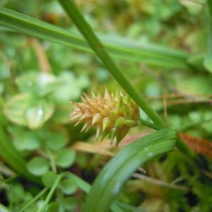 Photographie n°83945 du taxon Carex demissa Vahl ex Hartm.