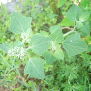 Photographie n°83955 du taxon Chenopodium vulvaria L.