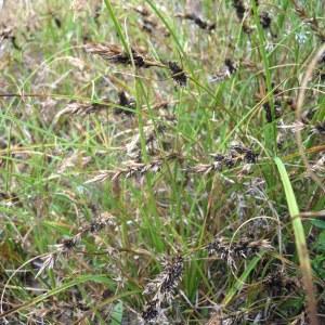 Photographie n°83976 du taxon Carex arenaria L.