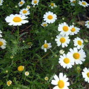 Photographie n°83988 du taxon Anthemis mixta L.