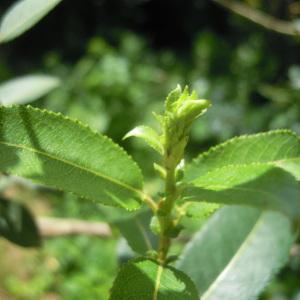 Photographie n°84003 du taxon Salix triandra L. [1753]