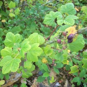- Ribes sanguineum Pursh [1814]