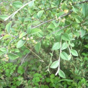 Photographie n°84031 du taxon Cotoneaster franchetii Bois