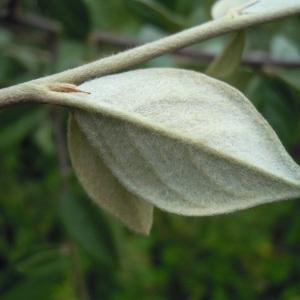 Photographie n°84034 du taxon Cotoneaster franchetii Bois