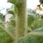 Bruno Stien - Verbascum phlomoides L. [1753]