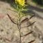 David Mercier - Rorippa sylvestris subsp. sylvestris