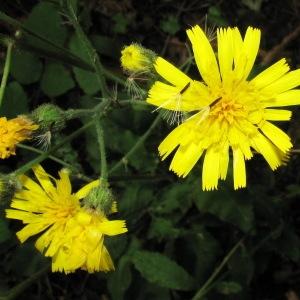 Photographie n°84199 du taxon Hieracium lachenalii Suter