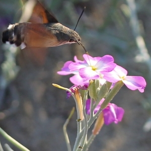 Photographie n°84213 du taxon Malcolmia littorea (L.) R.Br. [1812]
