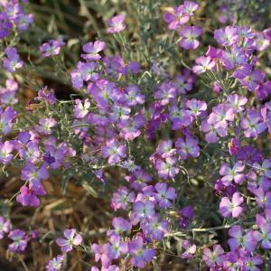 Photographie n°84214 du taxon Malcolmia littorea (L.) R.Br. [1812]