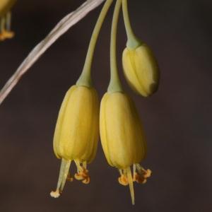 Allium flavum L. [1753] (Ail jaune)