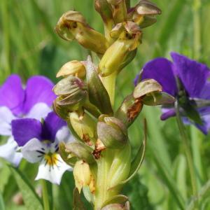 Photographie n°84273 du taxon Coeloglossum viride (L.) Hartm.