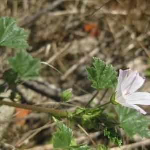 Photographie n°84275 du taxon Malva neglecta Wallr.