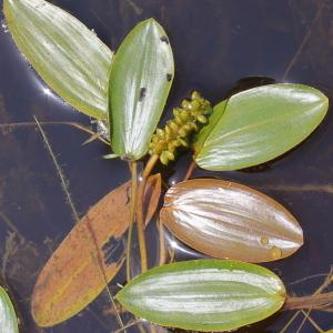 Photographie n°84333 du taxon Potamogeton natans L. [1753]