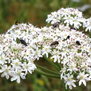 Heracleum sphondylium L. subsp. sphondylium (Berce commune)