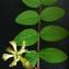 Bertrand BUI - Astragalus glycyphyllos L. [1753]