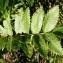 Alain Bigou - Sorbus aucuparia L.