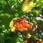 Claire Thouvenin - Viburnum opulus L.