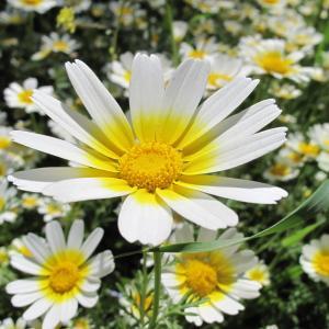 Glebionis coronaria (L.) Cass. ex Spach (Chrysanthème à couronnes)