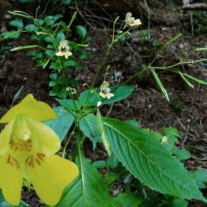 Photographie n°84631 du taxon Impatiens parviflora DC.