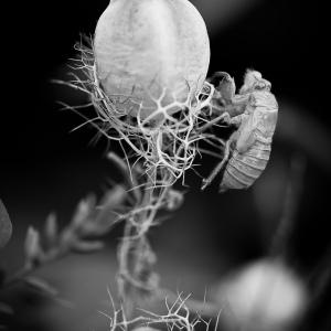 Photographie n°84638 du taxon Nigella damascena L. [1753]