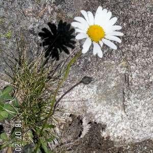 Leucanthemum atratum (Jacq.) DC. (Saw-leaved Moon-daisy)