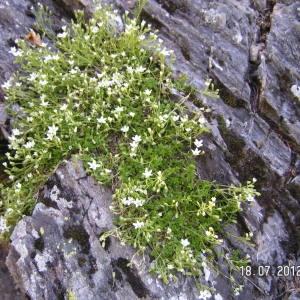 Photographie n°84673 du taxon Arenaria ciliata L. [1753]